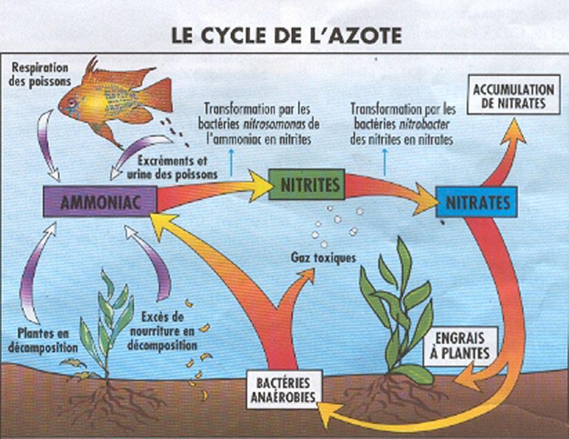 Le cycle de l'azote en aquariophilie Filtration3